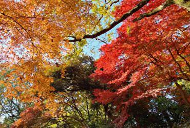 東京賞楓賞紅葉的好景點「六義園」!感受日式庭園的秋冬之美~